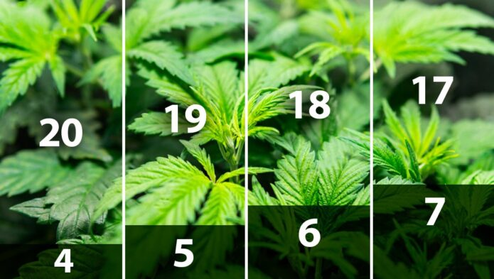light schedule for cannabis