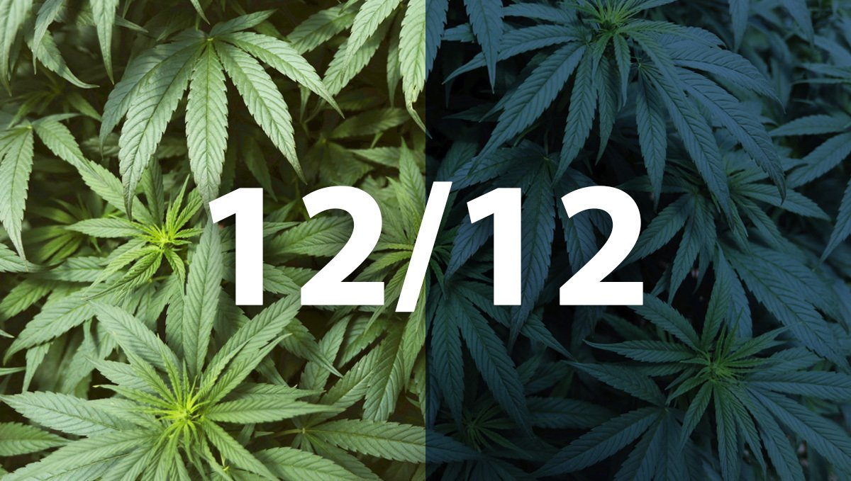 12/12 Light Cycle for cannabis plants